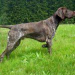 Cane da caccia: indicazioni e consigli per scegliere l'esemplare più adatto
