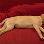 Come far muovere e giocare un cane pigro